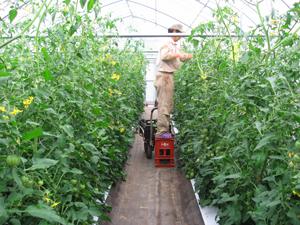 2015トマト管理2