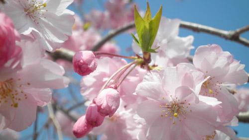 P3310094-sakura.jpg