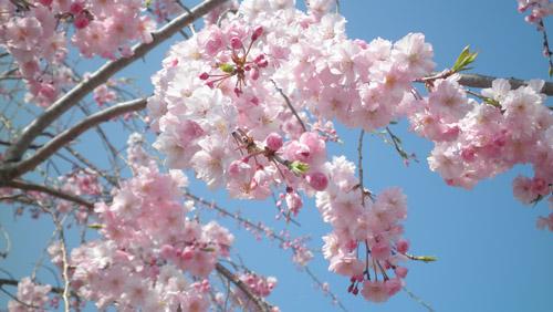 P3310096-sakura.jpg