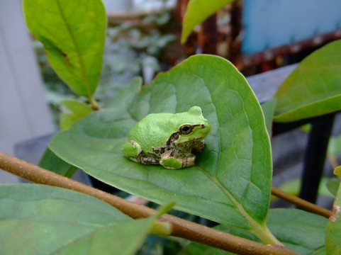 kaeru_frog8642.jpg