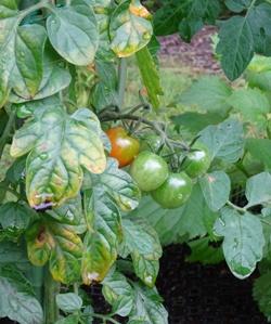 15ミニトマト3