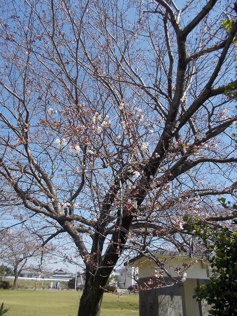 病院前の桜