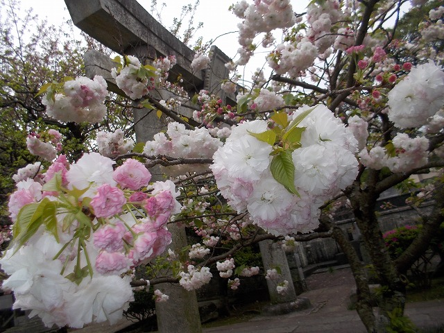 お迎えの八重桜
