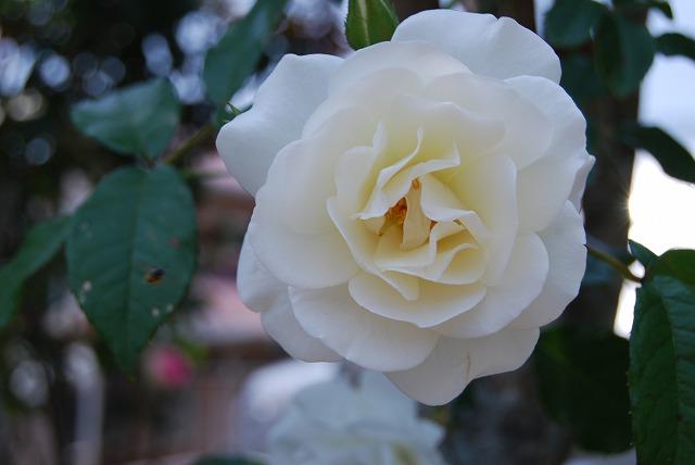 レイちゃんに白バラを捧げます