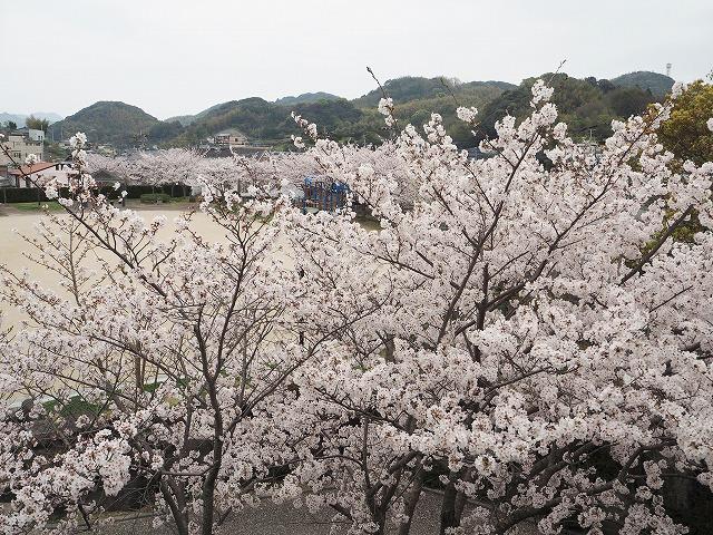 公園の周りにも桜