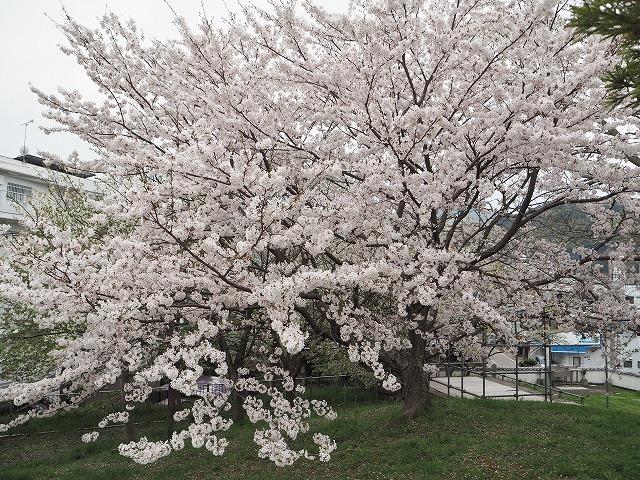 ソメイヨシノの古木