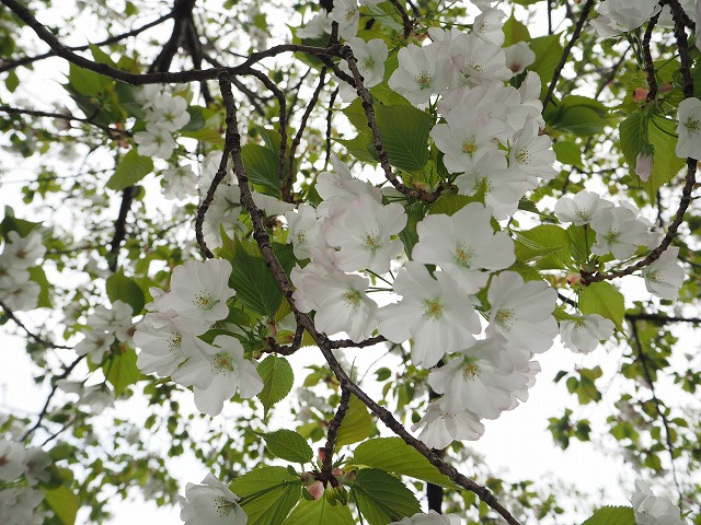 清々しい大島桜
