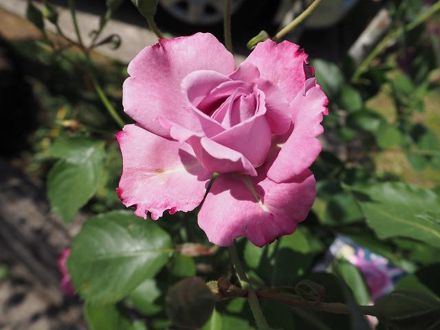 teaの香りのバラ