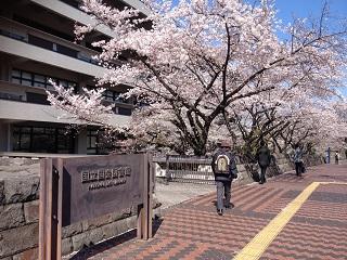 国会図書館と桜