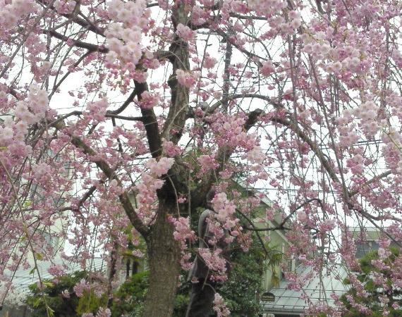 150410桜2