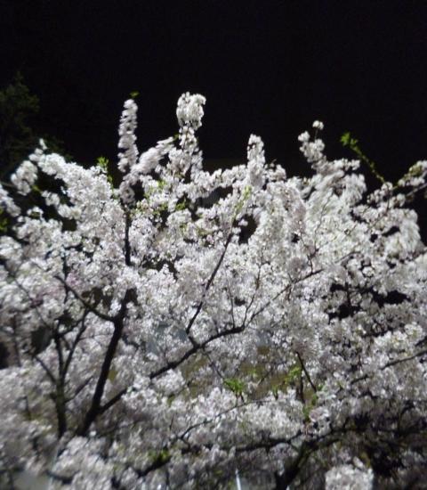 150414夜桜