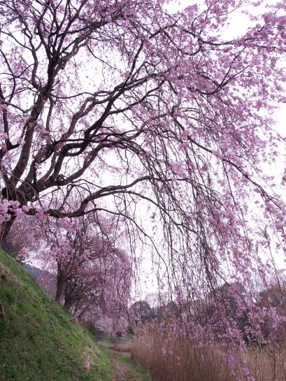 桜 立田山14