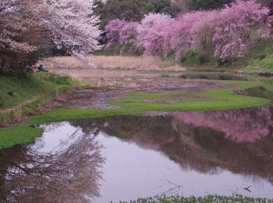 桜 立田山46