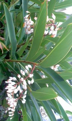 150512_月桃の花