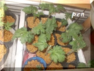 菊挿し芽2