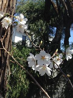 2015-03-31 桜1