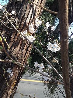 2015-03-31 桜2