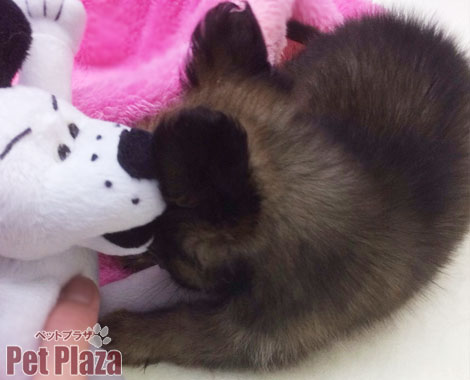 パピチワ 高槻 MIX犬