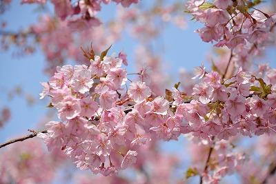 河津桜18