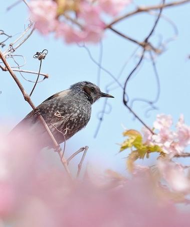河津桜15
