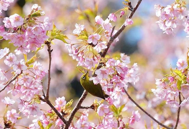 河津桜19