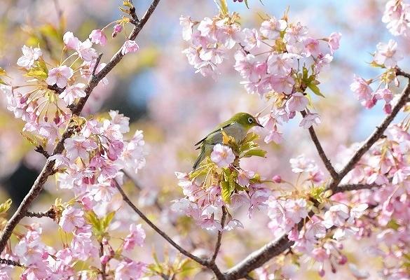 河津桜21