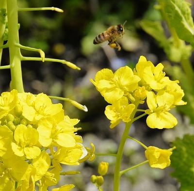 菜の花14