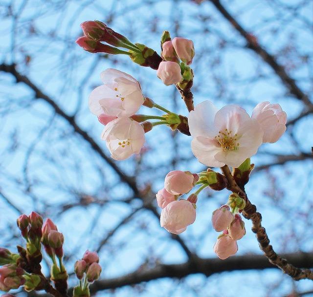 桜の開花1