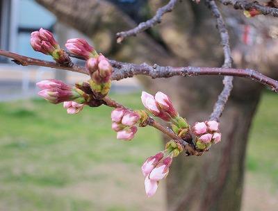 桜の開花3