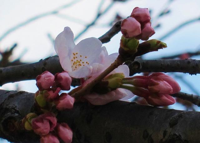 桜の開花4