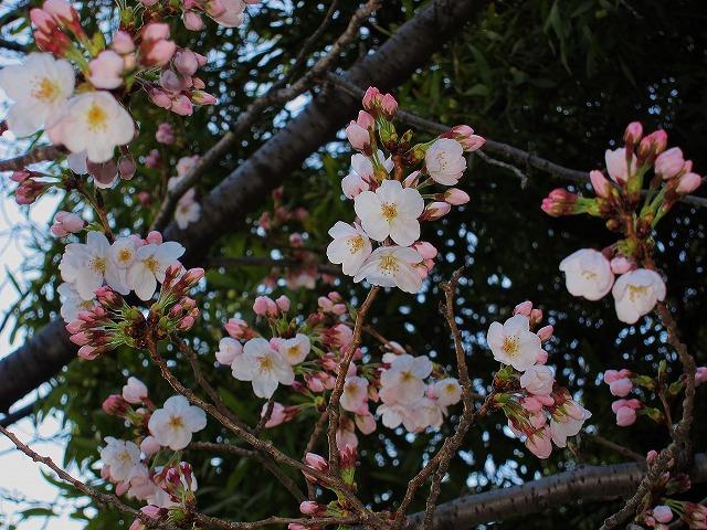 桜の開花5