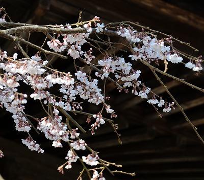 向原の春7