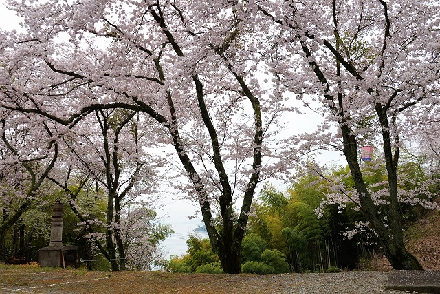 沿岸の桜1