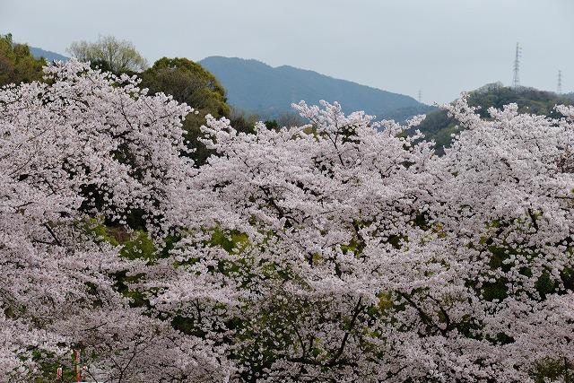 沿岸の桜3
