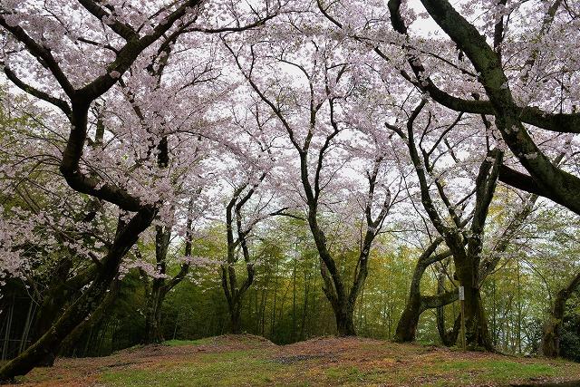 沿岸の桜2