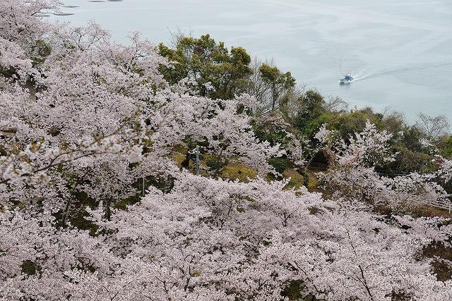沿岸の桜4
