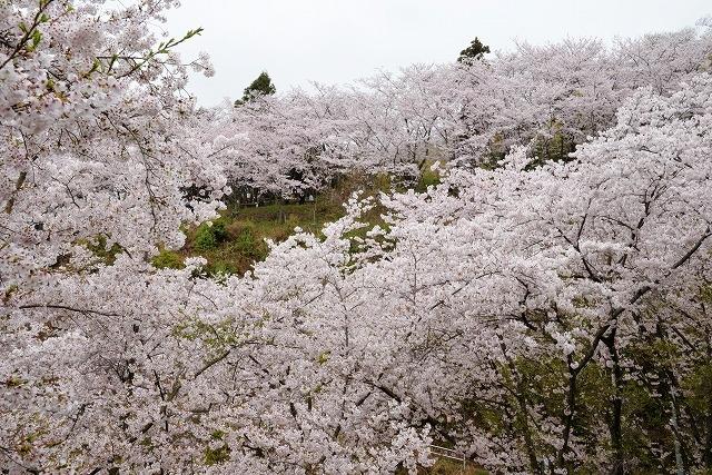 沿岸の桜14