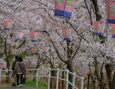 沿岸の桜10