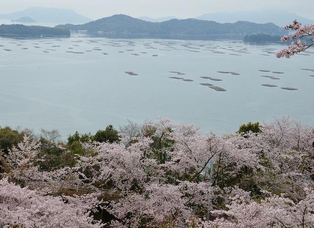 沿岸の桜9
