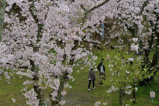 沿岸の桜15