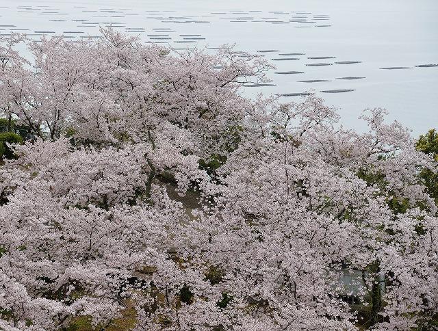 沿岸の桜16