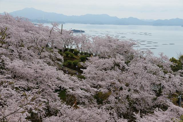 沿岸の桜7