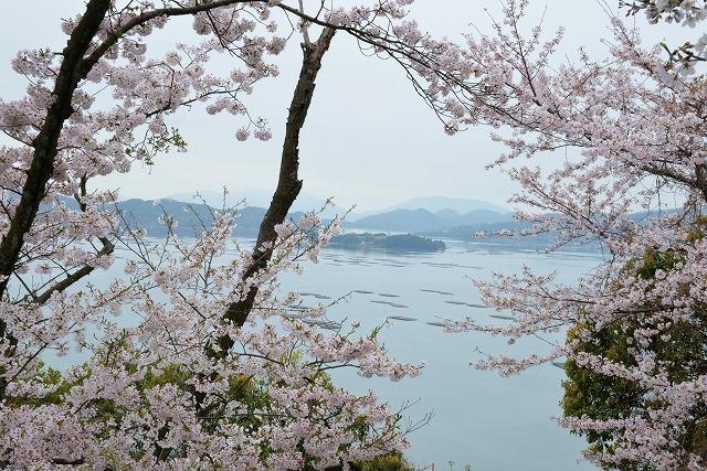 沿岸の桜11