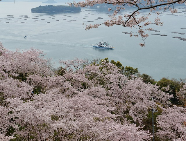 沿岸の桜8