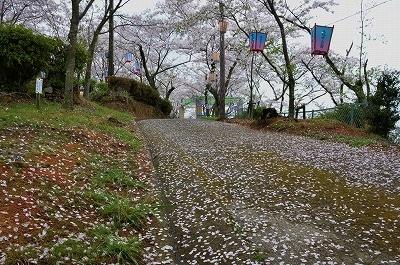 沿岸の桜12