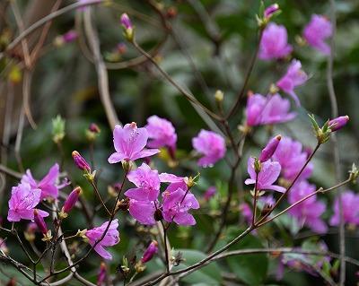 沿岸の桜13