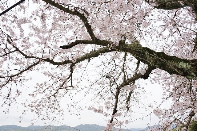 沿岸の桜17