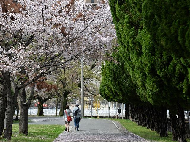 散る桜10