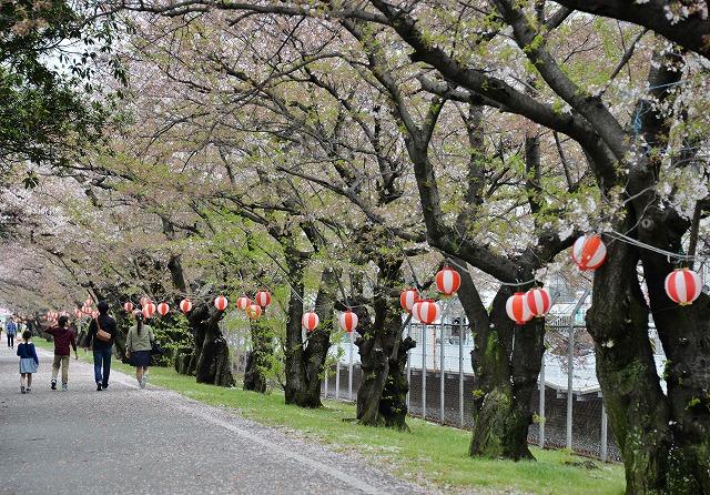 散る桜11