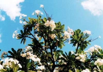 ハワイ プルメリア